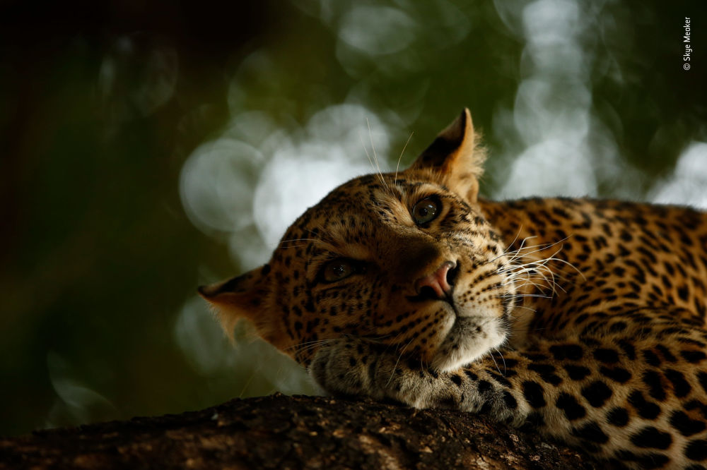 Снимок Lounging leopard южноафриканского фотографа Skye Meaker, победивший в категории 15-17 Years Old фотоконкурса 2018 Wildlife Photographer of the Year