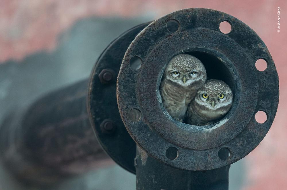 Снимок Pipe owls индийского фотографа Arshdeep Singh, победивший в категории 10 Years and Under фотоконкурса 2018 Wildlife Photographer of the Year