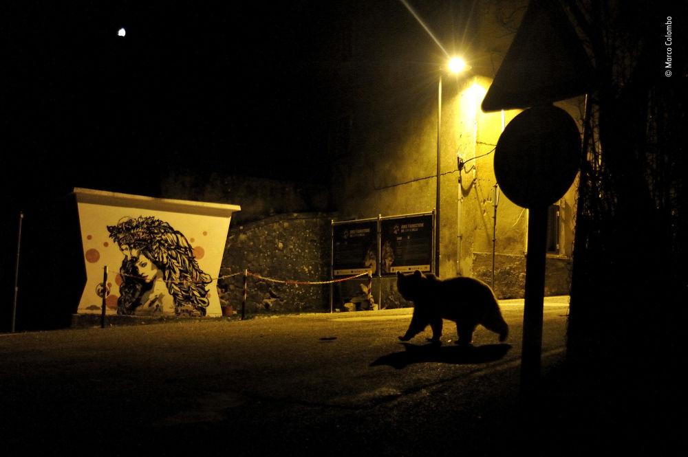 Снимок Crossing paths итальянского фотографа Marco Colombo, победивший в категории Urban Wildlife фотоконкурса 2018 Wildlife Photographer of the Year