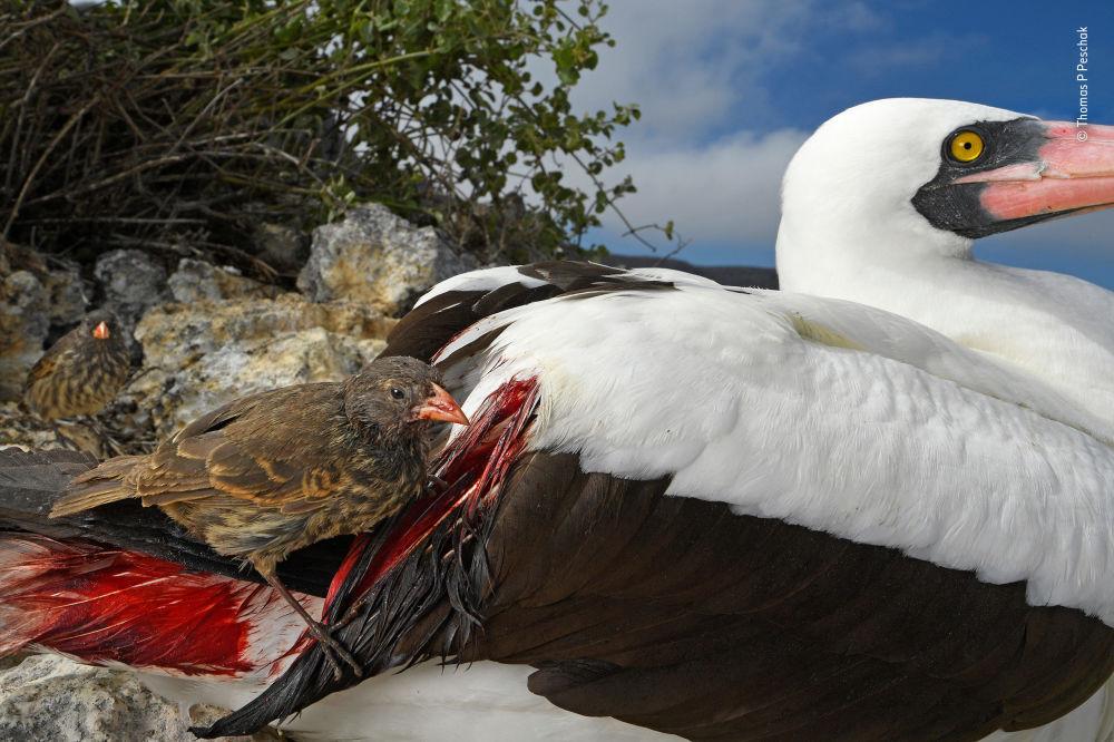Снимок Blood thirsty немецко-африканского фотографа Thomas P Peschak, победивший в категории Behaviour: Birds фотоконкурса 2018 Wildlife Photographer of the Year