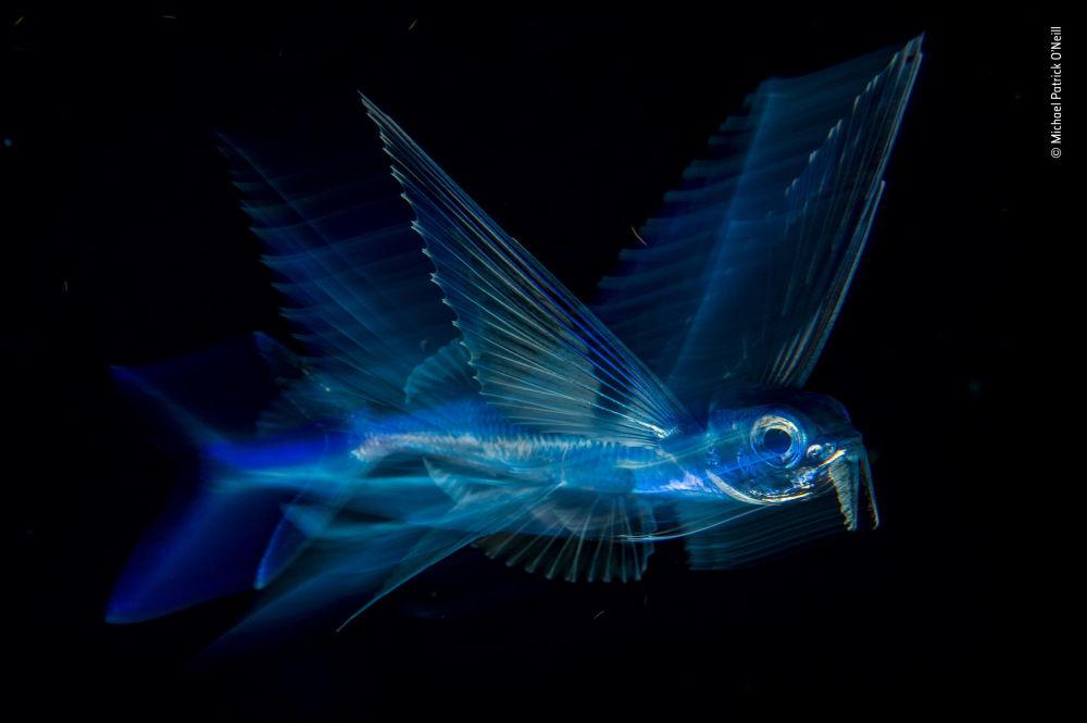 Снимок Night flight американского фотографа Michael Patrick O'Neill, победивший в категории Under Water фотоконкурса 2018 Wildlife Photographer of the Year