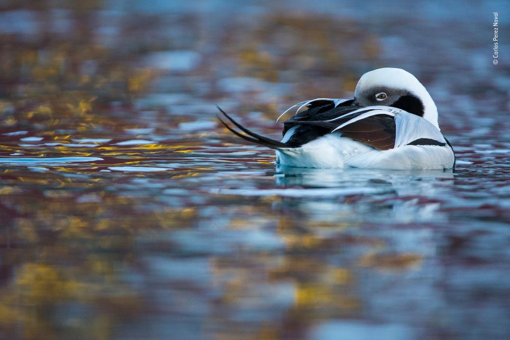 Снимок Duck of dreams испанского фотографа Carlos Perez Naval, победивший в категории 11-14 Years Old фотоконкурса 2018 Wildlife Photographer of the Year