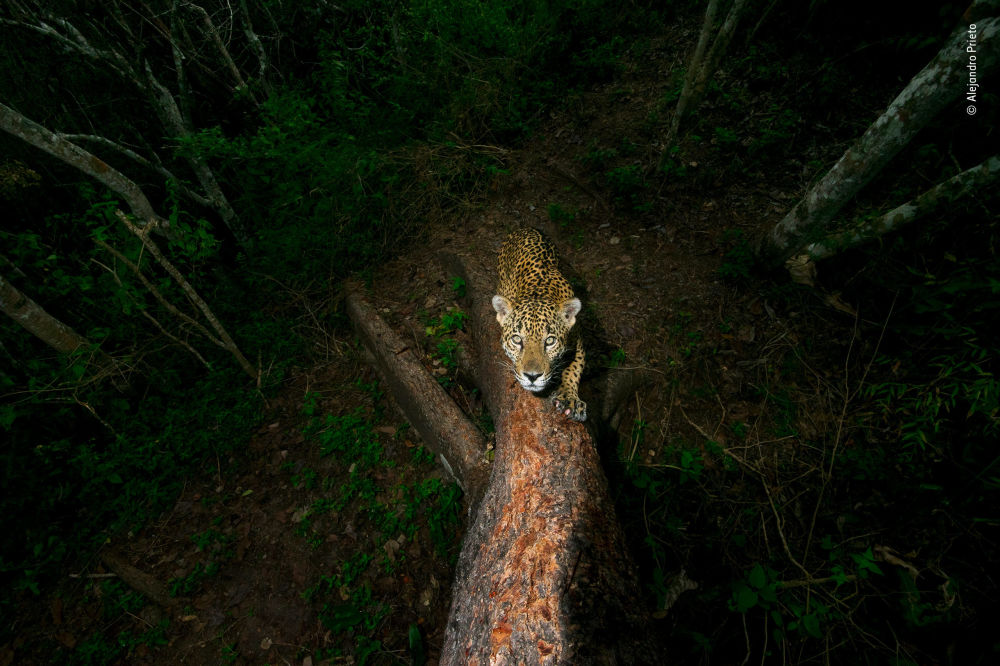 Снимок Signature tree мексиканского фотографа Alejandro Prieto, победивший в категории Wildlife Photojournalist Award: Story фотоконкурса 2018 Wildlife Photographer of the Year