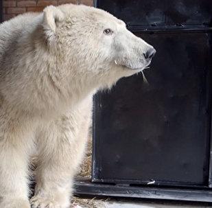 Спасение белого медведя