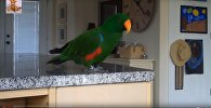 Как поют попугаи - видео