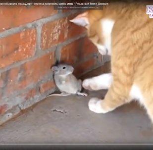 Как хитрая мышь обманула кошку - видео