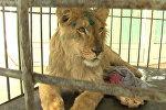 Спасение голодного льва