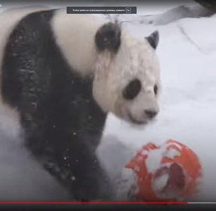 Панда радуется снегу - видео