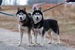 Собаки-скороходы: соревнования по бесснежному ездовому спорту прошли близ Алматы