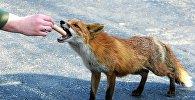 Прохожий кормит лису, архивное фото