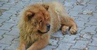 Собака пароды чау-чау, иллюстративная фото