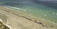 Погибшие дельфины на берегу острова Стюарт в  Новой Зеландии