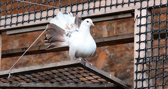 Белый голубь, иллюстративное фото