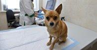 Собака перед осмотром в кабинете ветеринара, архивное фото