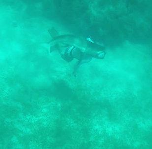 Акула вцепилась в голову дайвера