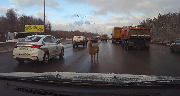 Овца на дороге