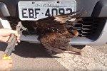 Ястреб на скорости врезался во внедорожник и остался жив