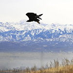 Чемпионат Азии по охоте с ловчими птицами