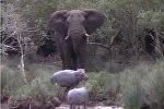 Бегемоты помешали слону искупаться