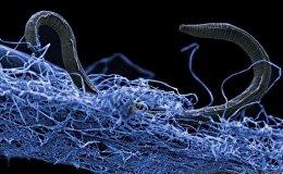 Червь нематода на биопленке из микроорганизмов. Он был найден в золотоносной шахте Копан в Южной Африке на глубине 1,4 километра