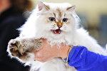 Кошка породы сибирская окраса колор-пойнт (невская маскарадная)