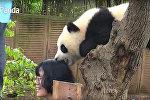 Панды - хулиганы - видео