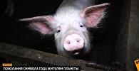 Видеопрогноз от символа года - Свиньи
