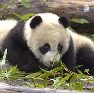 Детенышей панды вывели показали в Китае