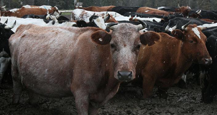 Коровы - рекадр