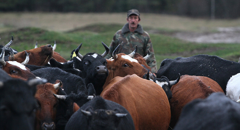 Архивное фото стада коров