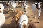Козы на пробежке с человеком - видео