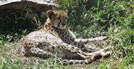 Архивное фото гепарда