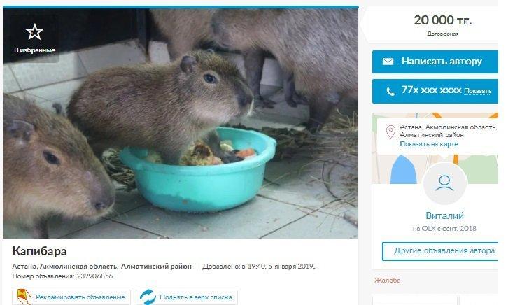 Объявление о продаже капибары