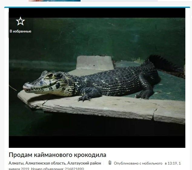 Объявление о продаже крокодила