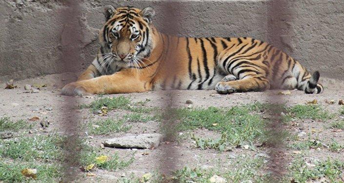 Найденный на трассе близ Астаны тигр в Алматинском зоопарке