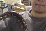 Сколопендра заменила студенту домашнее животное