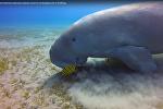 Морская корова ест водоросли - видео