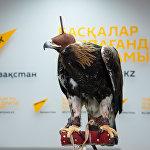 Беркут - ловчая птица