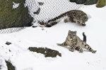 Детеныши снежного барса катаются с горки