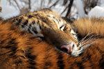Тигрица по кличке Тайга. Приморский Сафари-парк