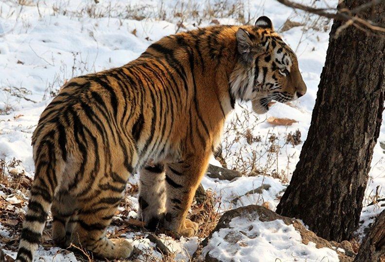 Амурская тигрица Тайга, в возрасте 1 год и 8 месяцев, в вольере Приморского Сафари-парка