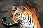 Архивное фото тигра в алматинском зоопарке