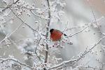 Снегирь на ветке