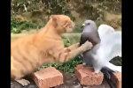 Голубь подрался с котом и победил - видео