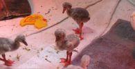 Птенцов фламинго спасли от голода