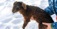 На ВДНХ предложили выбрать имя для детеныша эдильбаевского барана