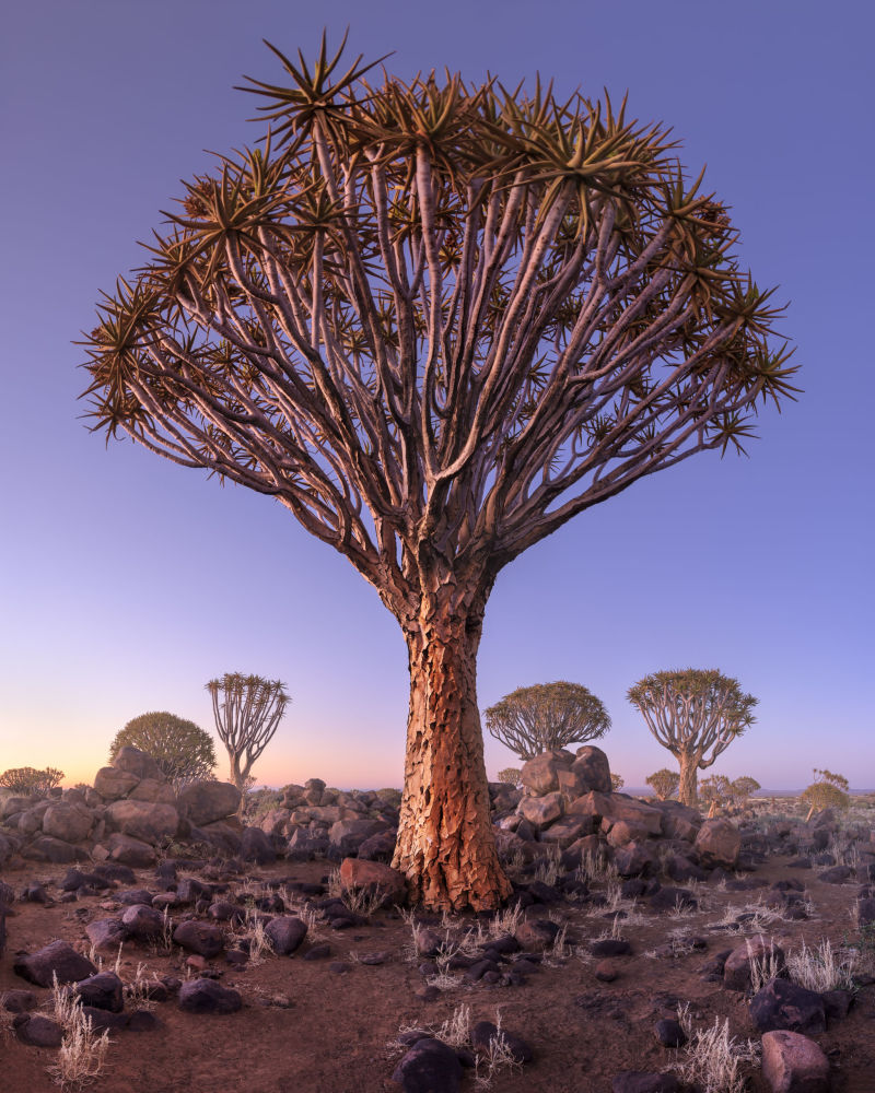 Снимок Quiver Trees in the Rocky Desert at Dawn фотографа Andrey Omelyanchuk, попавший в Топ-101 лучших снимков конкурса The International Landscape Photographer of the Year 2018