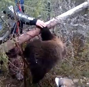 Архангельск облысында аңшылар он айлық қонжықты браконьерлік тұзақтан құтқарды.