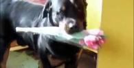 Ротвейлер готовит поздравление на 8 марта - видео