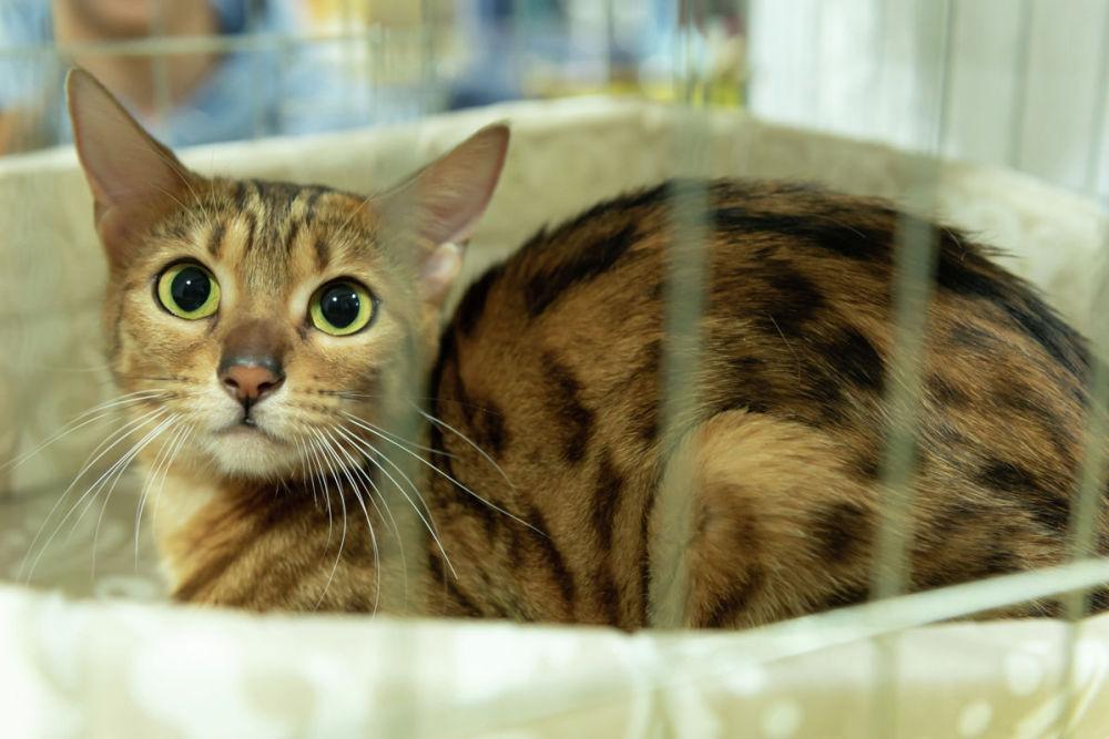 Международная выставка кошек различных пород Алмакот-2019